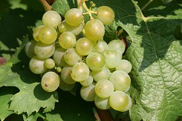 Muller-Thurgau grapes